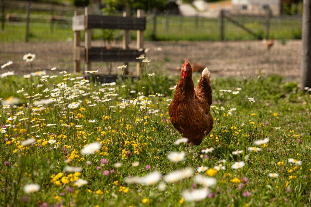 glückliches Freiland Huhn